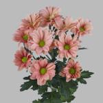 хризантема оптом